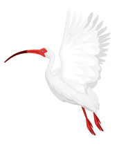 American White Ibis Flying Flapping His Wings Flat Vector Illustration Cartoon Animal Design White Bird With Red Beak On White Background Side View