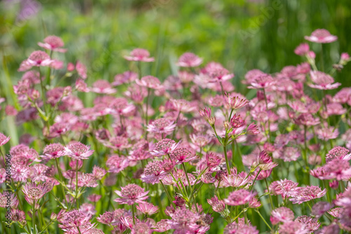 Astrantia major Roma Wallpaper Mural