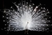 Rare White Peacock On Dark Bac...