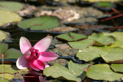 Water lily in the garden, Cannes, France Wallpaper Mural