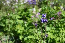 Closeup Aquilegia Vulgaris - Early Summer Flower With Blurred Background In Garden