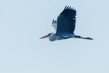 Grey Heron Flight (ardea Herodias) Grey Headed Heron Flying