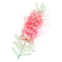 Branch With Outline Red Callistemon Or Bottlebrush Flower Bunch And Pastel Green Leaves Isolated On White Background.