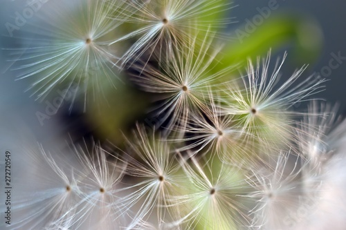 Dandelion.  Dandelion seeds close up. Soft focus ..