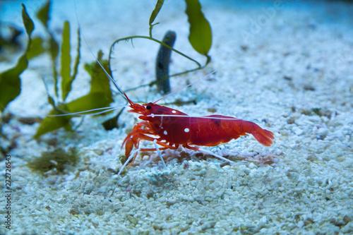 Fire shrimp, blood shrimp, scarlet cleaner shrimp (Lysmata debelius) Wallpaper Mural