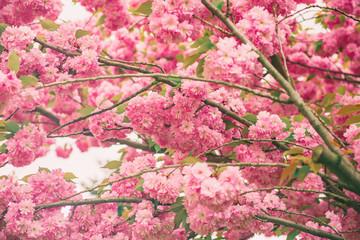Fototapeta Romantyczny Sakura flowers blooming