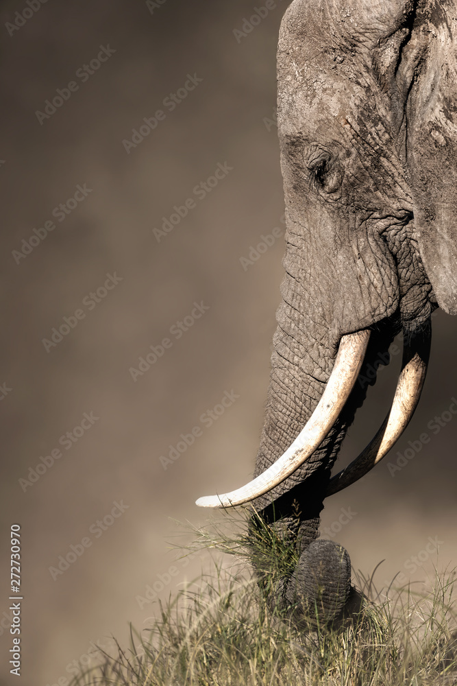 Closeup Elephant Eating Grass With Trunk