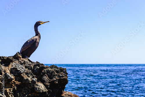 Black cormorant, Phalacrocorax carbo, resting on some rocks by the Mediterranean sea in the sun, waiting to catch a fish Wallpaper Mural
