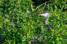 Baby Great Blue Heron In The Nest