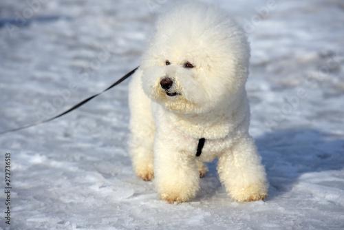 Valokuva  Bichon frize breed  white color