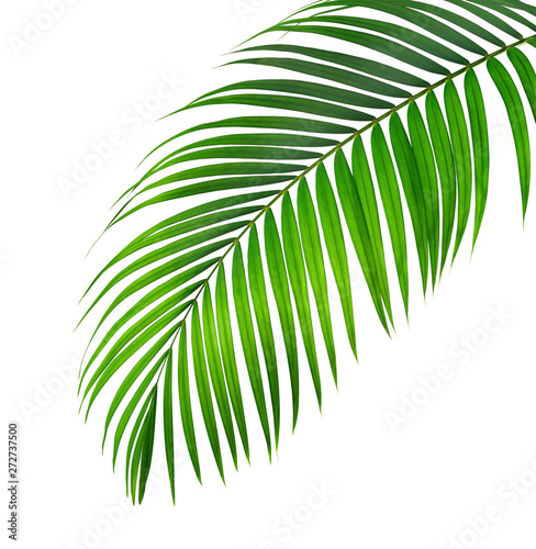 Canvas Prints Palm tree Green palm leaf isolated on white background