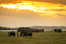 Herd Of Elephants Grazing At Sunset In Amboseli