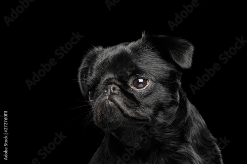 Photo sur Toile Chien Portrait of petit brabanson dog looking with hope on isolated black background, front view