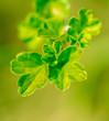 Leinwandbild Motiv Small leaves on gooseberry in spring