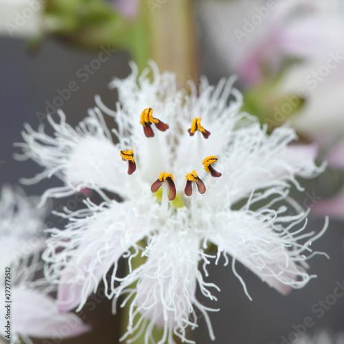 Menyanthes trifoliata, known as bogbean, Buckbean, Bog Bean, Buck Bean or Marsh Canvas Print