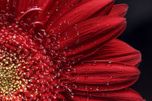 Beautiful Natural Background. Summer, Spring Concepts. Abstract Of A Red Gerber Daisy Macro With Water Droplets On The Petals. Copy Space. Template For Design. Soft Focus. Macro Shot