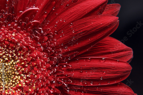 Photo sur Aluminium Marguerites Beautiful natural background. Summer, spring concepts. Abstract of a red Gerber daisy macro with water droplets on the petals. Copy space. Template for design. Soft focus. Macro shot