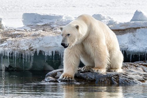 Adult male polar bear at the ice edge in Svalbard Fototapet
