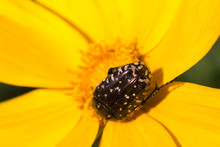 Large Beetle On A Yellow Flower