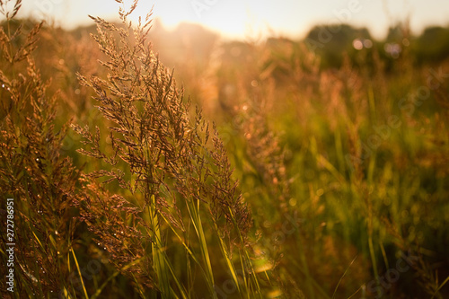 Fotobehang Natuur Close-up nature of grass ears after rain, lit by the sun