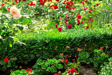 Bush Evergreen Boxwood In A Flower Bed With Red Flowers And Roses, Landscape Design In The Spring Garden Backyard.
