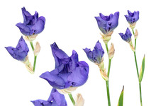 Set Of Blue Iris Buds With Long Stem And Green Leaf Isolated On White Background. Cultivar From Tall Bearded (TB) Iris Garden Group