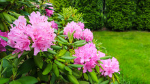 Blooming Pink Rhododendron Flowers In Spring. Gardening Concept. Flower Background