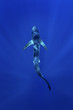 canvas print picture - blue shark, prionace glauca