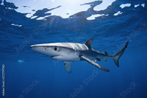 blue shark, prionace glauca