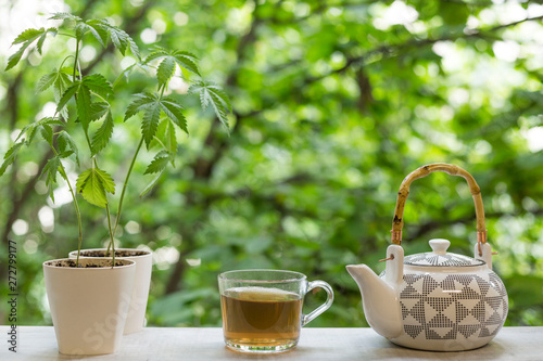 Poster de jardin The Marijuana plant in pottery. Hand pouring hot CBD tea in to glass by window.