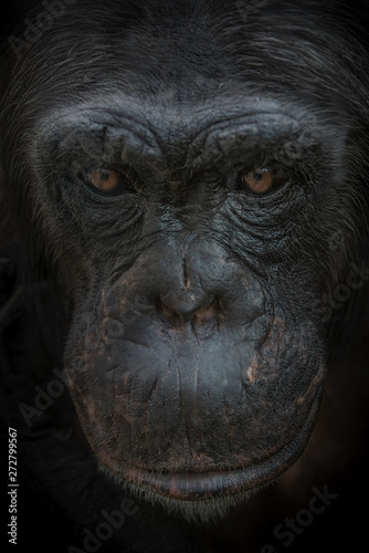 In de dag Aap Closeup portrait of curious wondered female adult Chimpanzee at black background