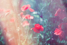 Close Up Poppy Head. Red Poppy Flowers Field