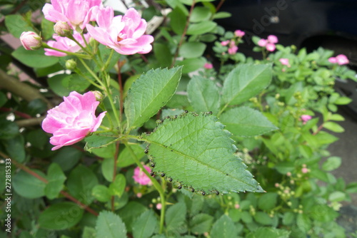 Fotomural バラの葉を食べる虫 - Caterpillars eating the rose leaf