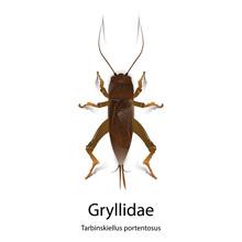 Gryllidae Vector On White Background.