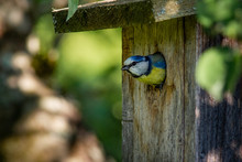 Blue Tit On Branch, Blue Tit In Nest, Blue Tit In Birdhouse, Bird In Birdhouse