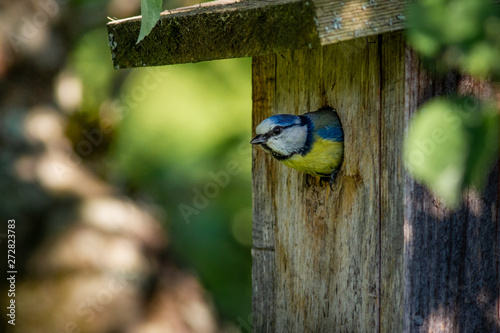 Canvas-taulu blue tit on branch, blue tit in nest, blue tit in birdhouse, bird in birdhouse