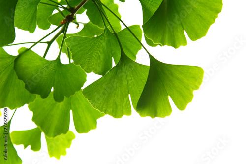 Photo  Ginkgo biloba green leaves on a tree