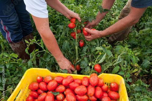 Photo raccolta di pomodori