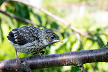 Little Bird .European Pied Flycatcher (Ficedula Hypoleuca)