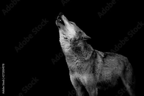 Montage in der Fensternische Wolf heulender Wolf