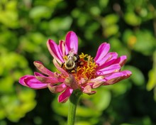 Closeup Of Pink Zinnia Being Harvested Of Nectar By Bee