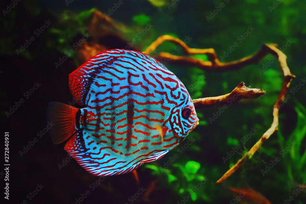 Fototapeta Discus fish in aquarium, tropical fish. Symphysodon discus from Amazon river. Blue diamond, snakeskin, red turquoise