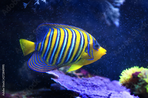 Fototapety, obrazy: Regal Angelfish, Pygoplites diacanthus, a saltwater angelfish from the Indo-Pacific and Red Sea