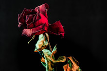 Roses Withered On Black Ground.