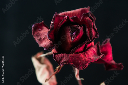 Fotografie, Obraz Roses withered on black ground.