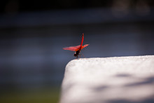 Red Dragonfly Resting On Stone