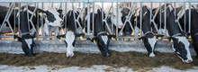 Black And White Spotted Holstein Cows Feed On Dutch Farm In Holland