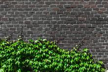 Green Ivy Leaves On A Dark Brown Brick Wall.