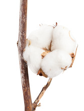 Dried Ripe Boll Of Cotton Plan...