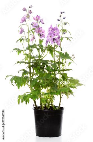 Foto pot with delphinium plant